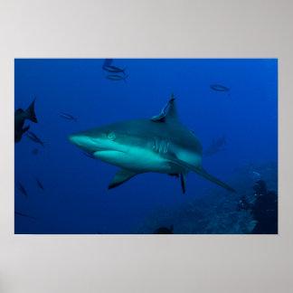 Grey Reef Shark at Osprey Reef Poster