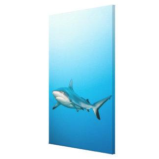 Grey reef sharks (Carcharhinus amblyrhnchos) Canvas Print