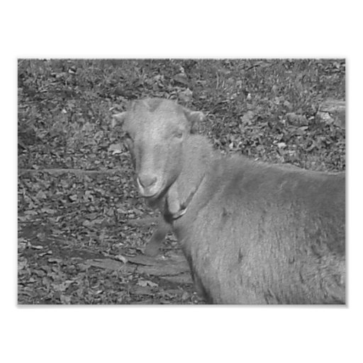 Grey Scale Goat Photo