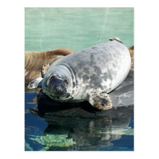 Grey Seal Looking Up Postcard