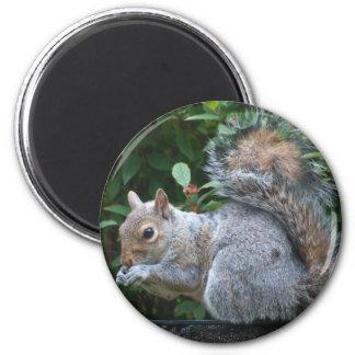 Grey Squirrel 6 Cm Round Magnet