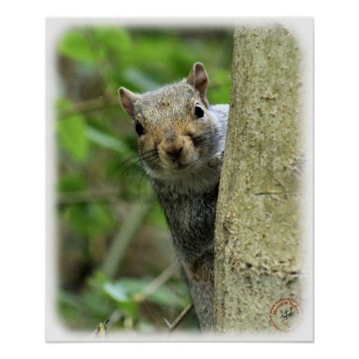 Grey Squirrel 9P52D-097 Poster