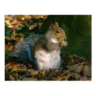 Grey Squirrel - Bute Park Cardiff Wales UK Postcard