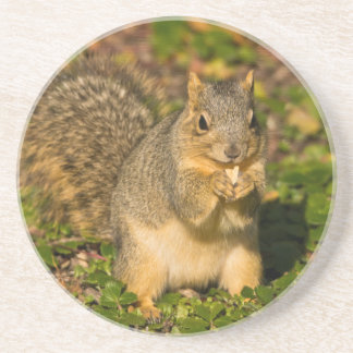 Grey Squirrel, eating, peanut, Crystal Springs 1 Coaster
