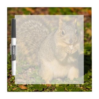 Grey Squirrel, eating, peanut, Crystal Springs 1 Dry Erase Board
