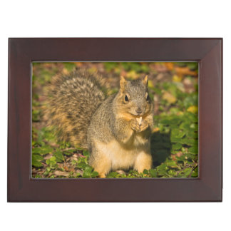 Grey Squirrel, eating, peanut, Crystal Springs 1 Keepsake Box