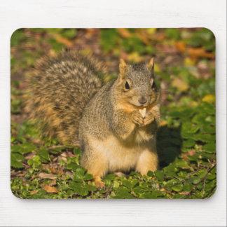 Grey Squirrel, eating, peanut, Crystal Springs 1 Mouse Pad