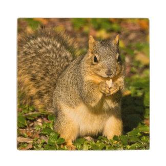 Grey Squirrel, eating, peanut, Crystal Springs 1 Wood Coaster
