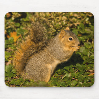 Grey Squirrel, eating, peanut, Crystal Springs 2 Mouse Pad