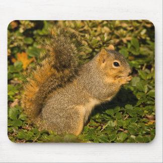 Grey Squirrel, eating, peanut, Crystal Springs 2 Mouse Pad