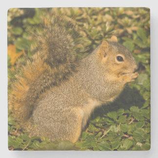 Grey Squirrel, eating, peanut, Crystal Springs 2 Stone Coaster
