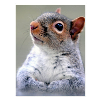 Grey Squirrel Face Photograph Postcard