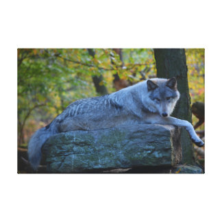 Grey Timberline Wolf resting in autumn Canvas Print