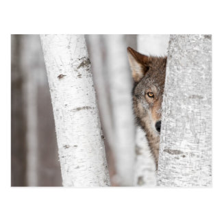 Grey Wolf (Canis lupus) Behind Tree Postcard