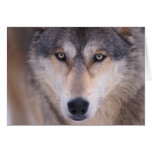 grey wolf, Canis lupus, close up of eyes in Greeting Card