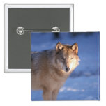 grey wolf, Canis lupus, in the foothills of 15 Cm Square Badge