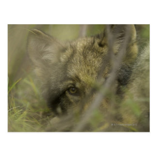 Grey wolf (Canis lupus) pup alone, hiding in Postcard