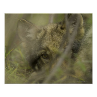 Grey wolf (Canis lupus) pup alone, hiding in Poster