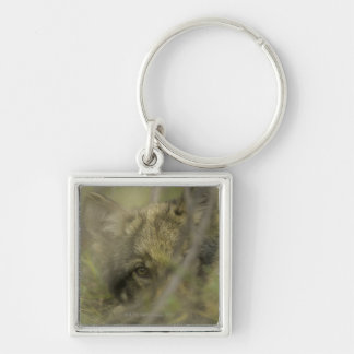 Grey wolf (Canis lupus) pup alone, hiding in Silver-Colored Square Key Ring