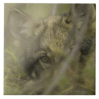 Grey wolf (Canis lupus) pup alone, hiding in Tile