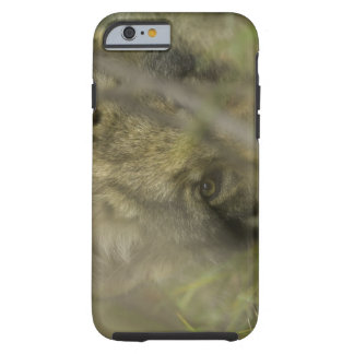 Grey wolf (Canis lupus) pup alone, hiding in Tough iPhone 6 Case