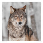 Grey Wolf (Canis lupus) With One Ear Back Poster