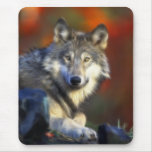 Grey Wolf, Endangered Species Digital Photography