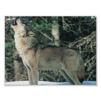 Grey Wolf howling Poster