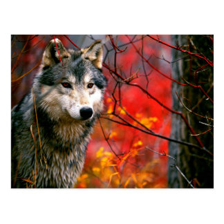 Grey Wolf in Beautiful Red and Yellow Foliage Postcard
