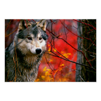 Grey Wolf in Beautiful Red and Yellow Foliage Poster