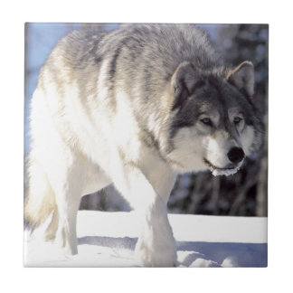 Grey Wolf On The Prowl Tile
