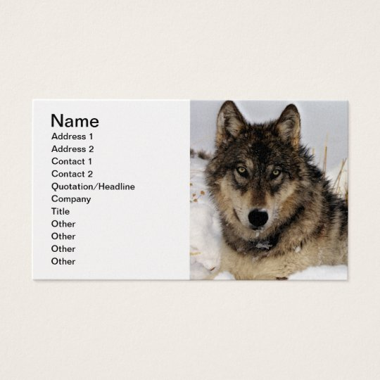 Grey Wolf or Timber Wolf Laying in the Snow Business Card