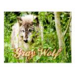 Grey Wolf Postcards