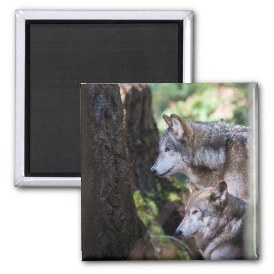 Grey wolves square magnet