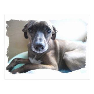Greyhound Puppy Postcard