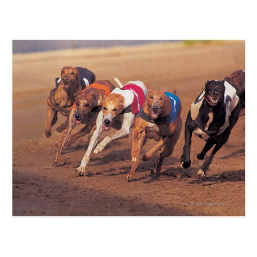 Greyhounds racing on track post card