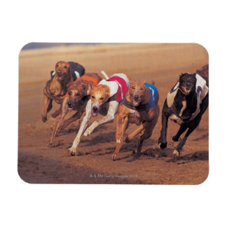 Greyhounds racing on track rectangular photo magnet