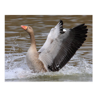 Greylag Geese Post Cards