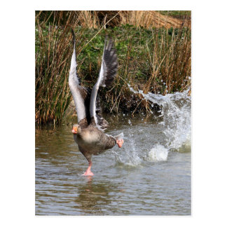 Greylag Geese Post Card