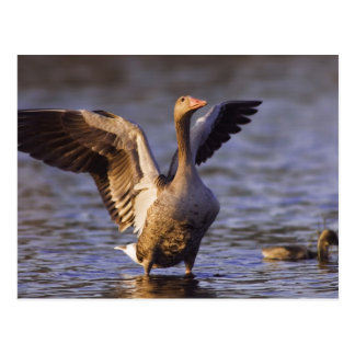 Greylag Goose Anser anser adult with young Postcard