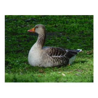 Greylag Goose, Anser anser, Graugans Postcard