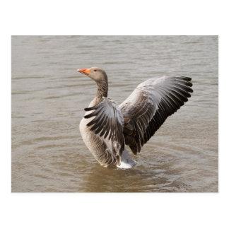Greylag Goose Postcard