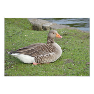 Greylag Goose Resting Photo Print