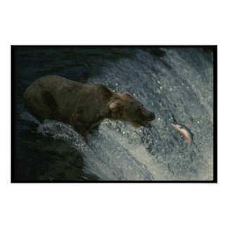 Grizzley Bear Feasting on Salmon Poster