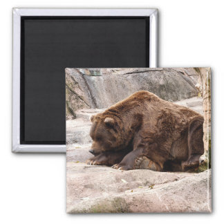 grizzly-bear-018 square magnet