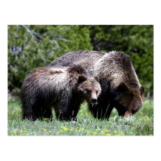 Grizzly Bear and Cub Postcard