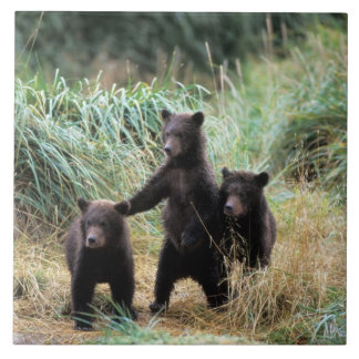 Grizzly bear, brown bear,  cubs in tall grasses, tile