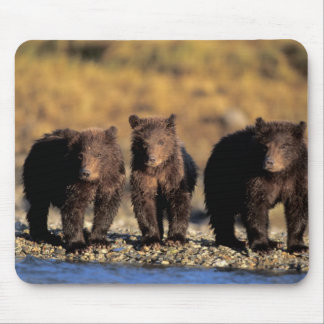 Grizzly bear, brown bear, cubs, Katmai National Mousepads