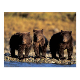 Grizzly bear, brown bear, cubs, Katmai National Postcard