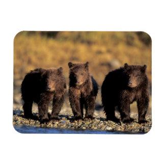 Grizzly bear, brown bear, cubs, Katmai National Rectangular Photo Magnet